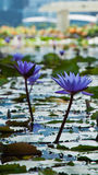 Scenic view of flowers like water lily and the business district, Singapore city Stock Images