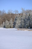 Scenic view of Frost Covered Spruce Trees Stock Images