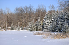 Scenic view of Frost Covered Spruce Trees Royalty Free Stock Photo