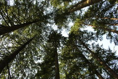 Scenic view of giant redwood trees. A beautiful overhead view of giant coniferous trees Stock Photos