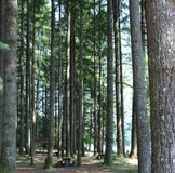 Scenic view of giant redwood trees in a park. A beautiful  view of giant coniferous trees in a public park of Woodland Washington Stock Photo