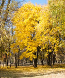Scenic view of golden leaves on trees in park. Autumn scene Royalty Free Stock Photography