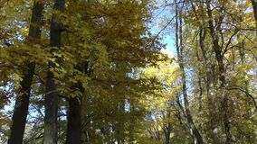 Scenic view of golden leaves on trees in park. Autumn scene stock video footage