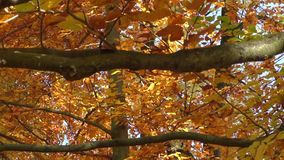 Scenic view of golden leaves on trees in park. Autumn scene stock footage