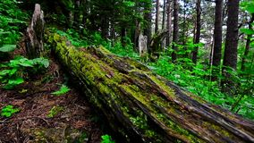 Scenic view of green forest and log with moss. Sliding view of beautiful forest with old giant log in front covered with moss stock video footage