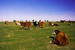 The scenic view of the herd of cows on flat pasture. With detail of one lying cow in the front of the image Royalty Free Stock Photos
