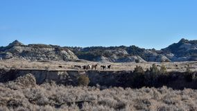 Wild horses graxe from a distance. royalty free stock photo