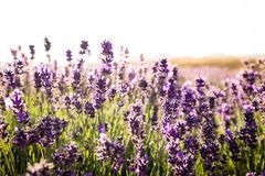 Scenic view of lavender field in New Zealand royalty free stock image