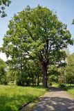 Scenic View of Leafy Oak Tree Standing in a Green Field in Volkspark Mainz Germany stock images