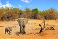 Scenic view of a mother and calf african elephats standing in the bush in south luangwa national park, with a nice blue cloudy sky Stock Photo