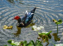 Rings Around the Muscovy Duck royalty free stock image