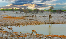 Scenic View at okaukeujo waterhole in Etosha National Park,. Sunrise view of Okaukeujo waterhole with Giraffe Zebra and Impala - Etosha National Park, Namibia Stock Image