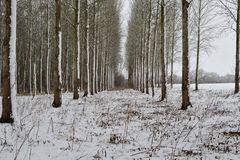 Snow covered poplar trees. Scenic view of a poplar wood covered in snow Stock Photography