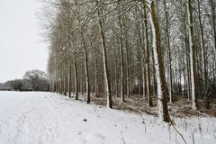 Snow covered poplar trees. Scenic view of a poplar wood covered in snow Stock Images