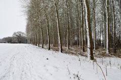 Snow covered poplar trees. Scenic view of a poplar wood covered in snow Stock Photo