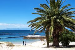 Scenic view at sandy beach with clear blue sky and one palm tree. Boulders Beach, South Africa Stock Photography