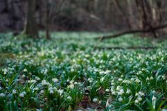 White fresh snowdrops bloom in the forest in spring. Tender spring flowers snowdrops harbingers of warming symbolize the arrival o royalty free stock images