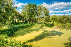 Scenic View Of Summer Sunny Forest Woods And Wild Bog. Nature. Royalty Free Stock Photo