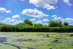 Scenic view of summer sunny river with duckweed Royalty Free Stock Photography