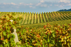 Scenic view of Tuscan vineyards Stock Photography