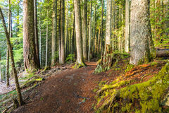 Scenic view of very big and tall tree in the forest in the morning.. Stock Photography
