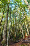 Scenic view of very big and tall tree in the forest in the morning.. Stock Photo