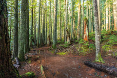 Scenic view of very big and tall tree in the forest in the morning.. Stock Image
