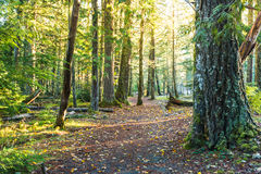 Scenic view of very big and tall tree in the forest in the morning. Stock Photos