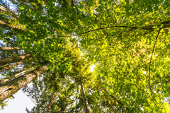 Scenic view of very big and tall tree with sun light in the forest  when looking up.. Stock Image