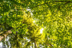 Scenic view of very big and tall tree with sun light in the forest  when looking up.. Stock Photos