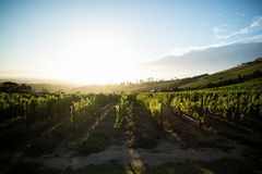 Scenic view of vineyard against sky Royalty Free Stock Image