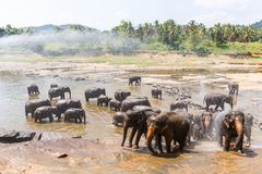Scenic view of wild elephants in natural habitat in Asia, sri. Lanka, pinnawala stock images