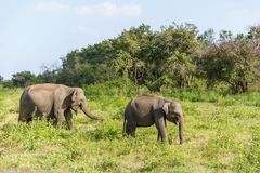 Scenic view of wild elephants in natural habitat on field, sri. Lanka, minneriya stock image