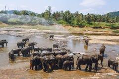 Scenic view of wild elephants in natural habitat, pinnawala,. Sri lanka royalty free stock images