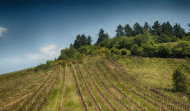 Scenic view of a wine grape field. In the Mosel region of Germany Stock Image