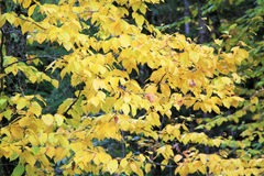Scenic view of yellow fall leaves and branches Stock Image