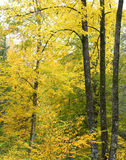 Scenic view of yellow fall leaves and branches Royalty Free Stock Photo