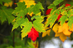 Scenic view of yellow, red and green fall leaves Stock Photo