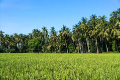 Scenic views of paddy fields and coconut trees Stock Images