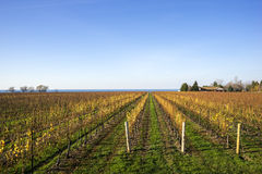 Scenic Vineyard by Lake Ontario #2 Royalty Free Stock Photo
