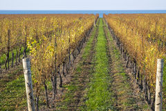 Scenic Vineyard by Lake Ontario #1. Scenic Vineyard by Lake Ontario in Late Fall #1 Royalty Free Stock Photos