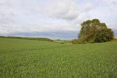 Scenic wheat fields Stock Photo