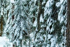 Fantastic pine winter forest with trees covered in snow stock images