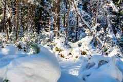 Fantastic pine winter forest with trees covered in snow stock photos