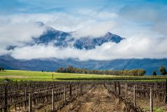 Scenic winter vineyard with a Canola and mountain background stock photography