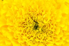 Natural background. Yellow Carnation Flower. Scenic yellow natural background. Closeup of flower petals of yellow marigolds Stock Photo