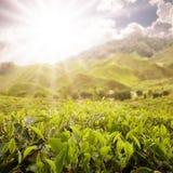 Scenico dell'azienda agricola del tè Immagine Stock Libera da Diritti