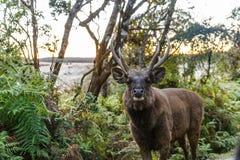 sceniczny widok dziki rogacz z dużymi rogami w naturalnym siedlisku, sri lanka, obraz royalty free