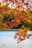 Sceniczny widok młody dębowy drzewo w jesieni miasta parku z pięknym z kolorowymi liśćmi nad jezioro zdjęcia royalty free
