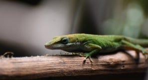 Sceniczny wizerunek Czerwona Throated jaszczurka zdjęcie stock